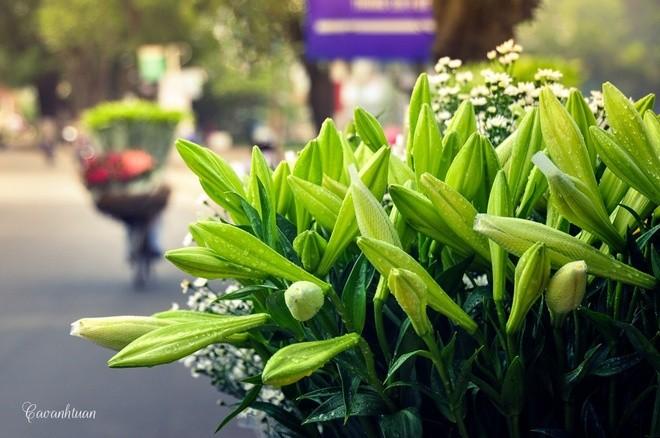 Azucena blanca, la reina de las flores de Hanoi en abril - ảnh 5