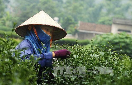Té verde vietnamita ante grandes oportunidades de desarrollar su marca en Estados Unidos - ảnh 1