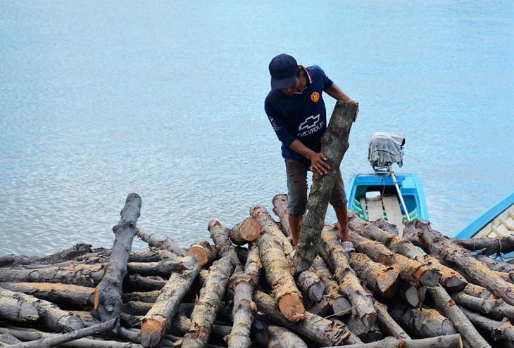 """El árbol """"duoc"""" ayuda a la gente de Ca Mau a superar la pobreza - ảnh 2"""