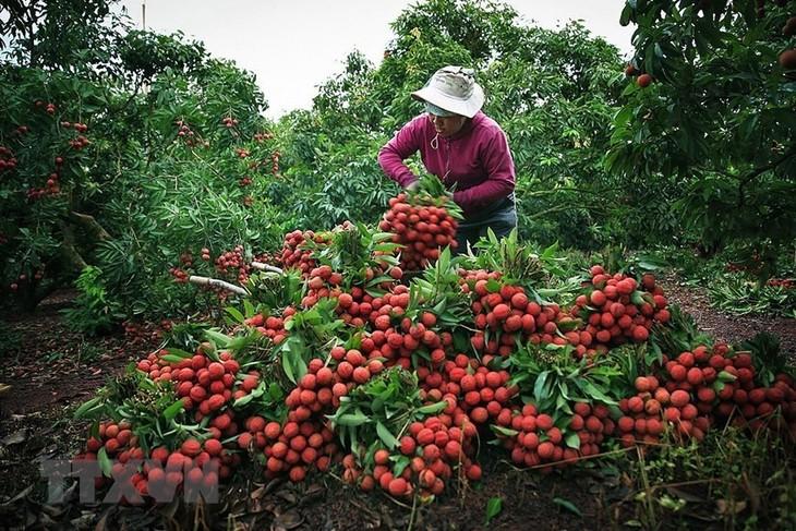 Ministerio de Agricultura y Desarrollo Rural de Vietnam apoya el consumo de lichi y otros productos agrícolas - ảnh 1