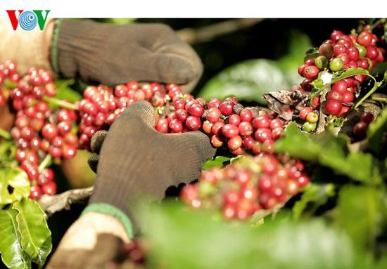 ประสิทธิภาพจากโครงการร่วมมือระหว่างภาครัฐกับภาคเอกชนในการผลิตกาแฟอย่างยั่งยืนในจังหวัดดั๊กลัก  - ảnh 1