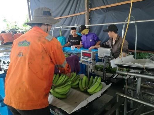 สวนปลูกกล้วยที่ใหญ่ที่สุดในเอเชียนตะวันออกเฉียงใต้ที่ประเทศกัมพูชา - ảnh 2