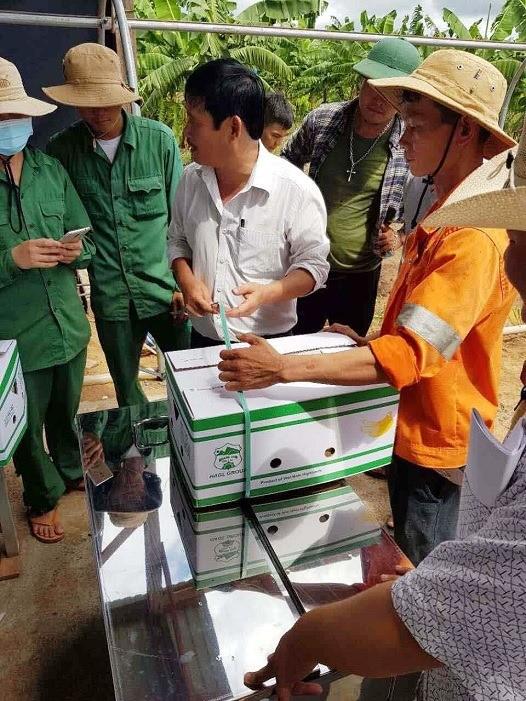 สวนปลูกกล้วยที่ใหญ่ที่สุดในเอเชียนตะวันออกเฉียงใต้ที่ประเทศกัมพูชา - ảnh 1