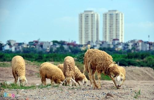 Lạ lẫm cừu nhởn nhơ gặm cỏ ven đô - ảnh 1