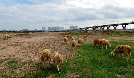 Tốc độ đô thị hóa các làng quê ven thủ đô ngày một nhanh chóng khiến cho khung cảnh thành phố được pha trộn cùng nông thôn ở khu vực bên kia sông Hồng. Bên cạnh đường dẫn cầu Vĩnh Tuy, ngày ngày nhiều đàn cừu, trâu, bò nhởn nhơ gặm cỏ không cần người chăn