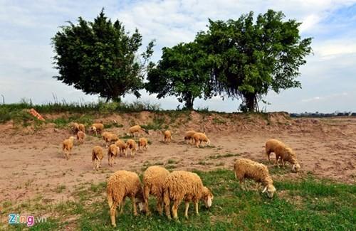 Lạ lẫm cừu nhởn nhơ gặm cỏ ven đô - ảnh 2