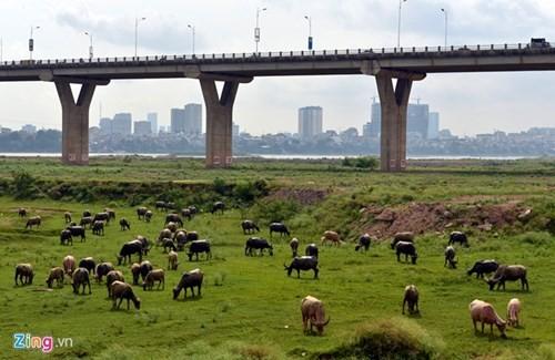 Lạ lẫm cừu nhởn nhơ gặm cỏ ven đô - ảnh 3