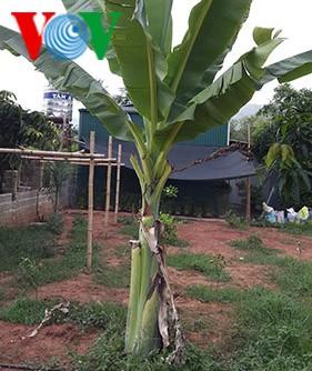 กล้วยงวน-อาหารจานเด็ดของชนเผ่าไทที่เอียนโจว์  - ảnh 1