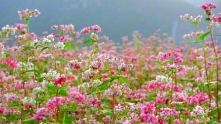 เที่ยวห่ายางชมทุ่งดอกไม้ดอกตามยากแหมกหรือดอกบักวีต - ảnh 2