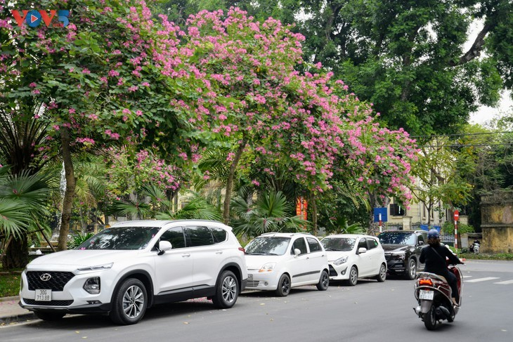 Ban flowers in full bloom in Hanoi - ảnh 9