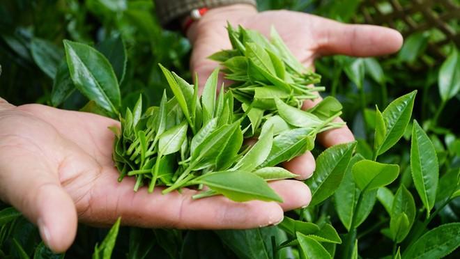 黎山海为太原茶产品打开新的发展方向 - ảnh 2