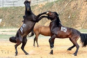 Con ngựa trong đời sống người vùng cao - ảnh 1