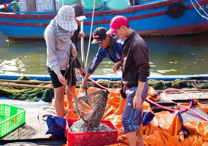 Quảng Trị: Ngư dân được mùa cá cơm - ảnh 1