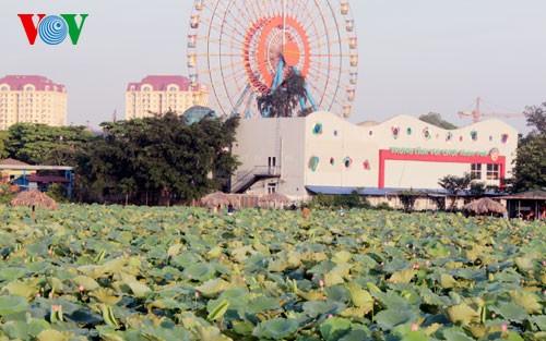 ภาพดอกบัวในกรุงฮานอย - ảnh 1