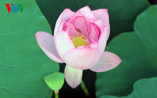 ภาพดอกบัวในกรุงฮานอย - ảnh 2