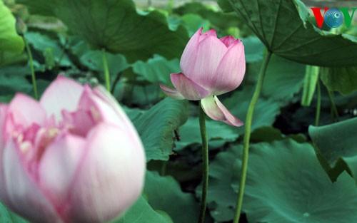 ภาพดอกบัวในกรุงฮานอย - ảnh 3