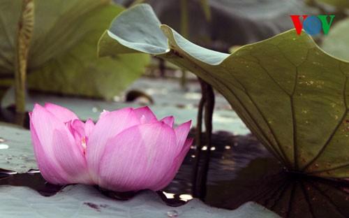ภาพดอกบัวในกรุงฮานอย - ảnh 7