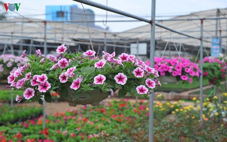Flower villages  busy for Tet - ảnh 1