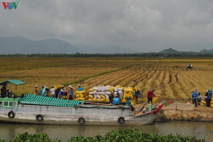 Delta del río Mekong registra un récord de productividad arrocera - ảnh 1