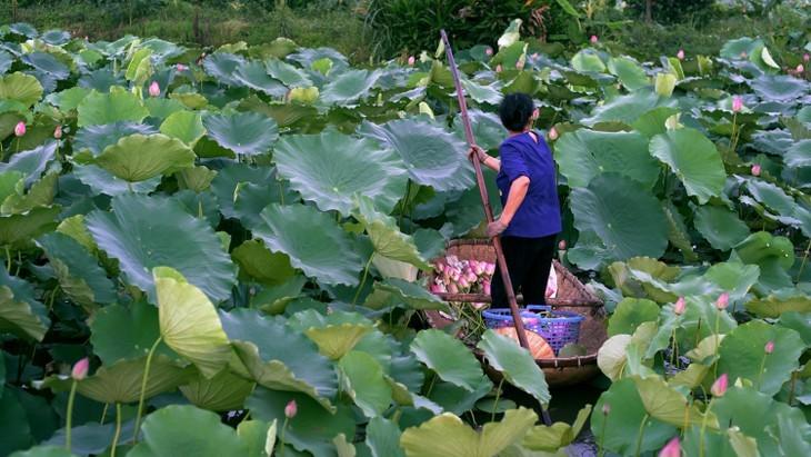 Té de loto, una especialidad de los hanoyenses que conecta el pasado con el presente - ảnh 1