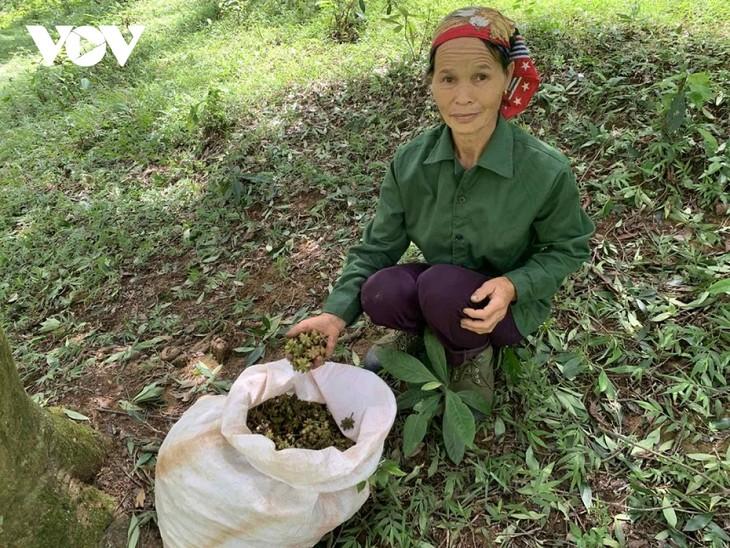 La cosecha del anís estrellado de los lugareños de Lang Son - ảnh 1