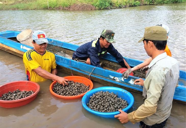 Agricultores de Ca Mau se enriquecen gracias a los berberechos de sangre - ảnh 1