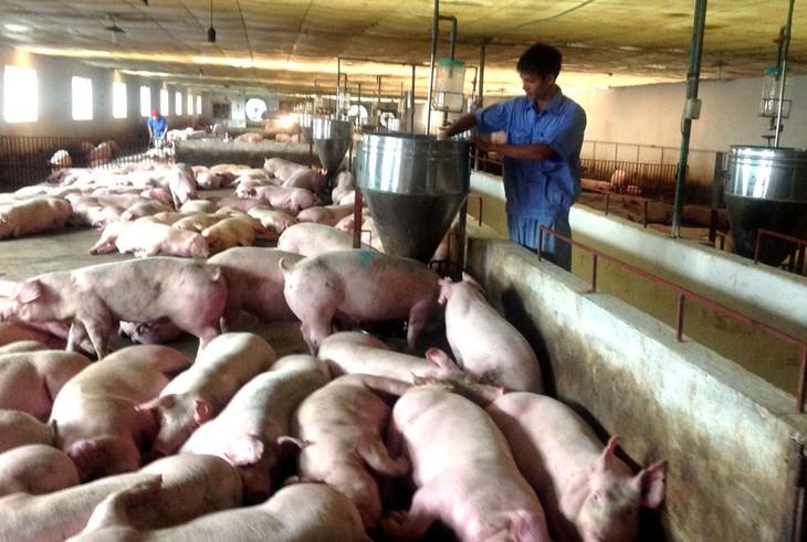 หน่วยงานการเกษตรประชุมกับสถานประกอบการเพื่อหารือเกี่ยวกับการลดราคาเนื้อหมู - ảnh 1
