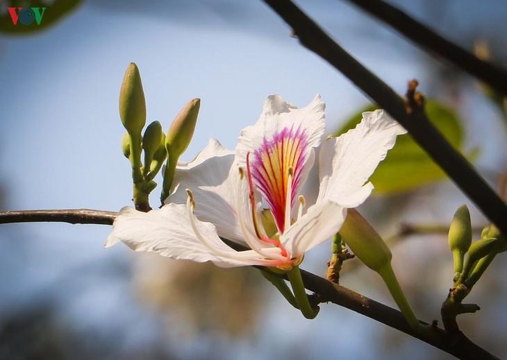 Ban – signature flower of Vietnam's northwestern mountain region - ảnh 1