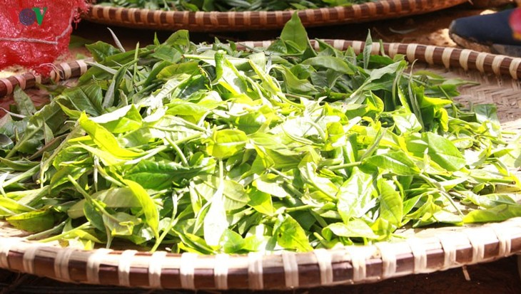 Shan Tuyet tea – a specialty from Hoang Lien Son mountain range - ảnh 2