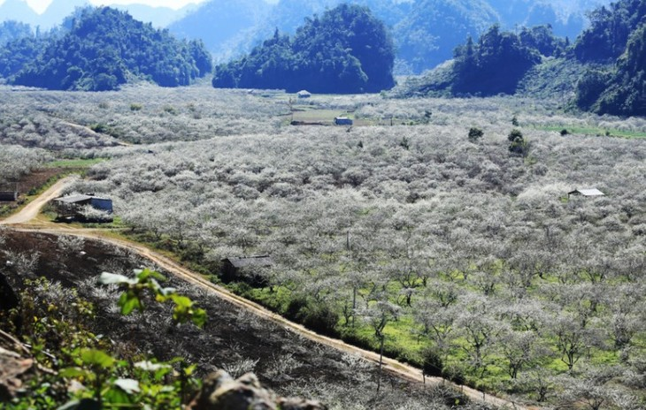 Na Ka plum valley on Moc Chau plateau, Son La province - ảnh 1