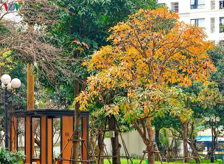 Die romanische Schönheit der Stadt Hanoi in der Zeit, in der Bäume ihre Blätter wechseln - ảnh 11