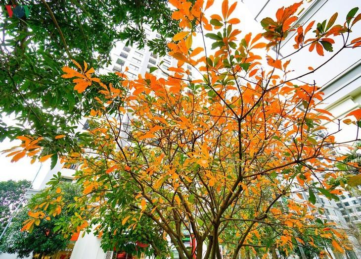 Die romanische Schönheit der Stadt Hanoi in der Zeit, in der Bäume ihre Blätter wechseln - ảnh 3