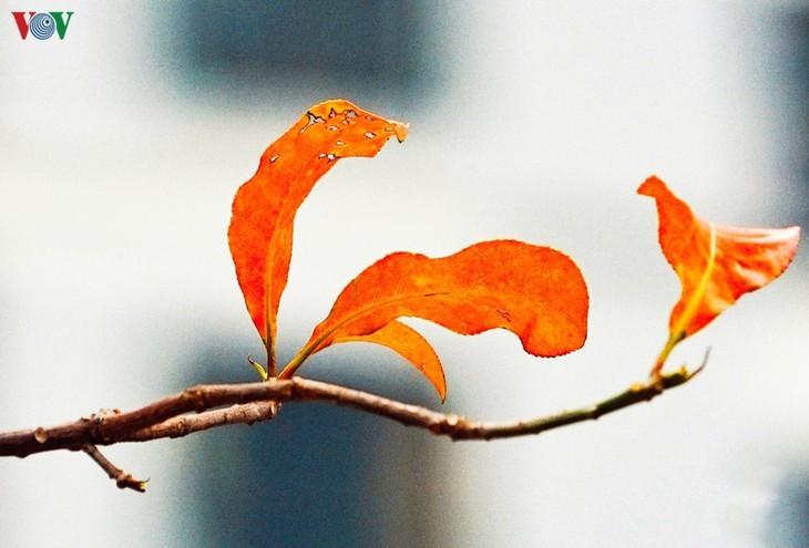 Die romanische Schönheit der Stadt Hanoi in der Zeit, in der Bäume ihre Blätter wechseln - ảnh 4