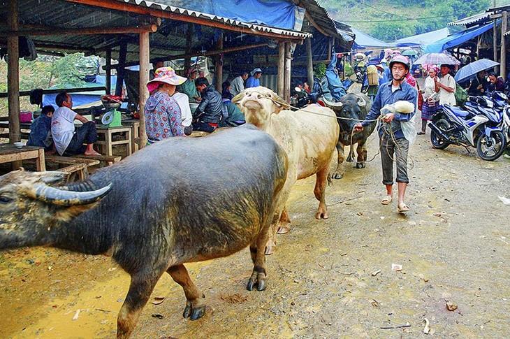 Cán Cấu – ตลาดค้าควายที่ใหญ่ที่สุดในเขตเขาตะวันตกเฉียงเหนือ - ảnh 2