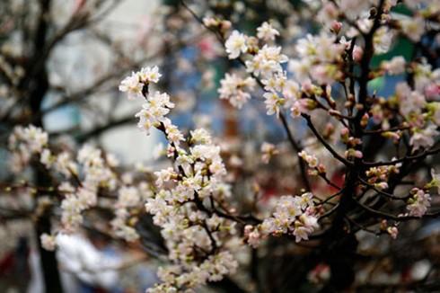 10,000 cherry blossoms celebrate Vietnam, Japan ties - ảnh 1