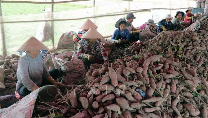 中国同意考虑重新进口越南红薯 - ảnh 1