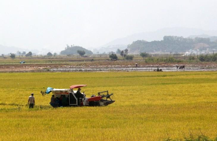 拉克县水稻的丰收季 - ảnh 1