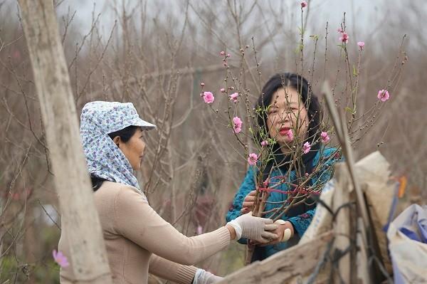 Ambiente dinámico en los viveros de melocotoneros y kumquats en Hanói en vísperas del Tet   - ảnh 2