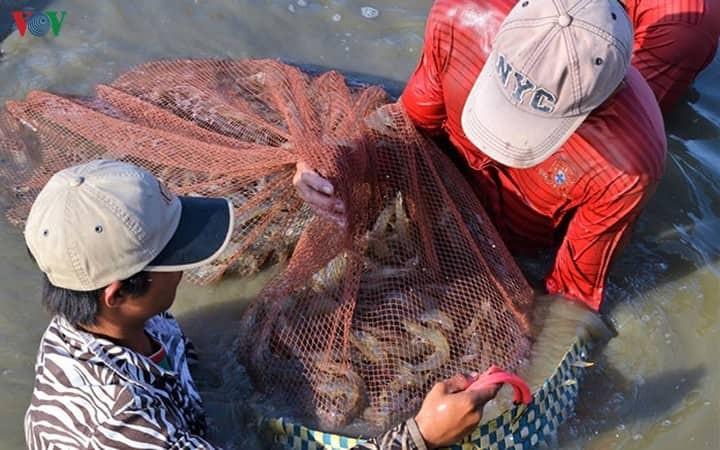 Crevettes : le delta du Mékong veut exporter plus - ảnh 1