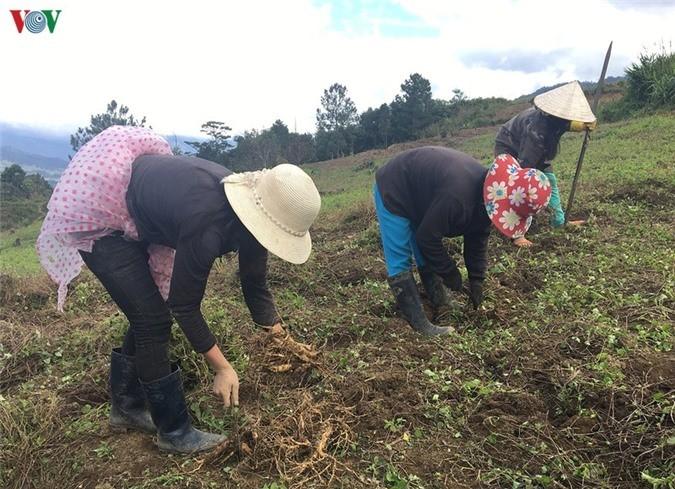 Жизнь народности Седанг в провинции Контум улучшается благодаря лекарственным растениям - ảnh 2