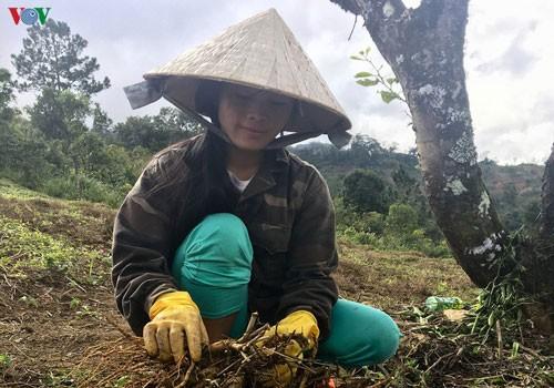 Жизнь народности Седанг в провинции Контум улучшается благодаря лекарственным растениям - ảnh 1