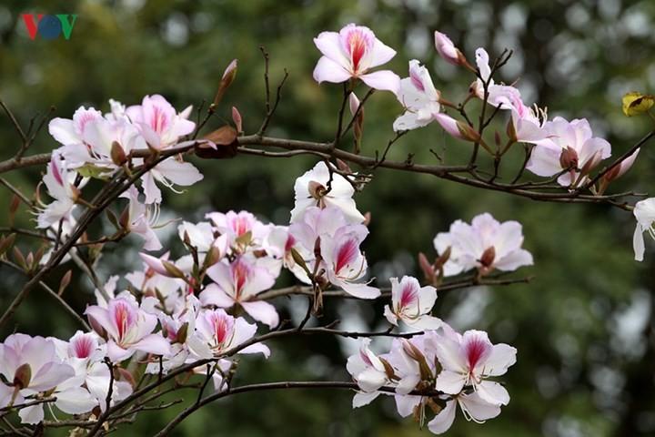 Ouverture de la fête de la fleur de bauhinie 2018 à Son La - ảnh 1