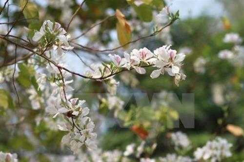 Diên Biên : les fleurs de bauhinie en fête - ảnh 1