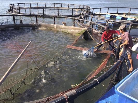 Phát triển mô hình nuôi trồng thủy sản trên biển tại Bà Rịa - Vũng Tàu - ảnh 1