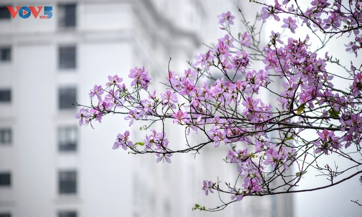 ดอกกาหลงเอกลักษณ์ของเขตเขาตะวันตกเฉียงเหนือบานสะพรั่งในกรุงฮานอย - ảnh 7